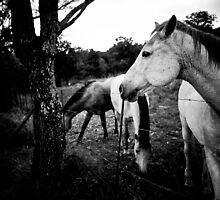 Horses - Nooitgedacht by IamPhoto