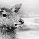 Rannoch Deer by Linda  Morrison