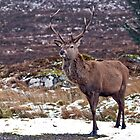 Red Deer Hart by Margaret S Sweeny
