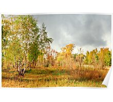 Birch on the edge of the forest Poster