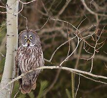 Great Grey Owl - Ottawa, Canada by Josef Pittner
