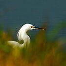 Egret Thru the Grasses by Xcarguy