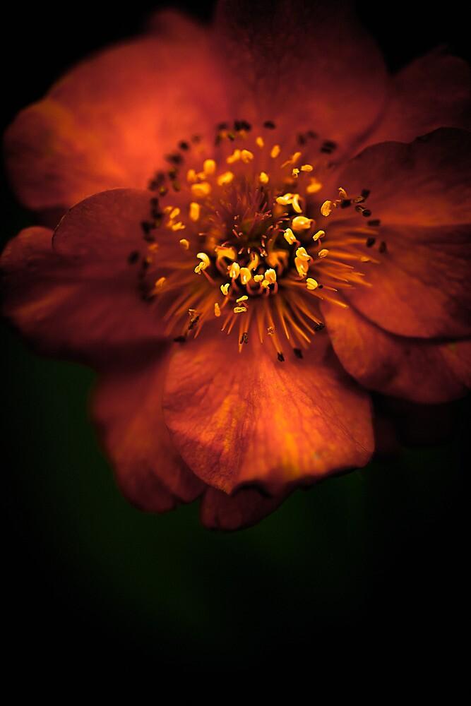 Blood Orange Anemone by alan shapiro