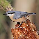 Nuthatch on Stump by dilouise
