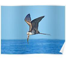 Great Frigate Bird Poster