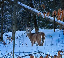 Winter Whitetail by Nazareth