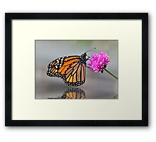 Monarch Butterfly On A Bright Pink Flower Framed Print