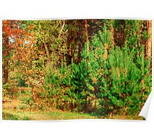 Young shoots of pine Poster