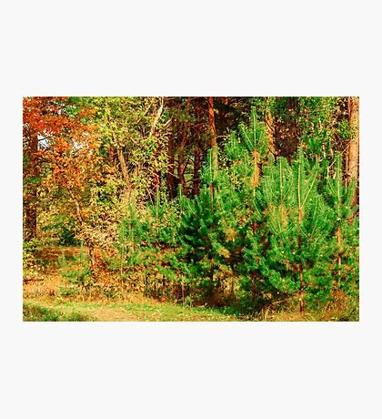 Young shoots of pine Photographic Print