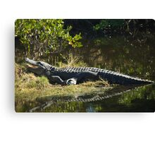 Alligator in the Sun Canvas Print