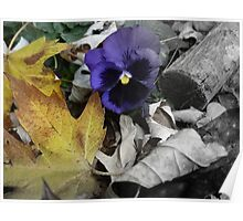 Peek-a-boo Pansy Poster