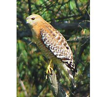 Juvenile Red Shouldered Hawk Photographic Print