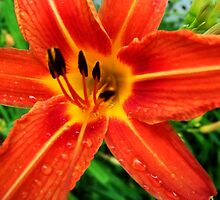 Tiger Lily Or Daylily by James Brotherton