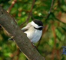 Chickadee-Small Bird in Oil by jkgiarratano