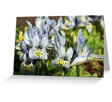 Dwarf Iris Greeting Card