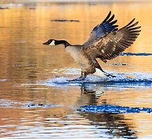 Canada Goose: Sundown by John Williams