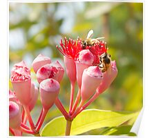 Bees gather honey from a eucalyptus flower Poster