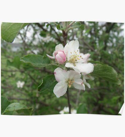 Apple Tree Flower Poster