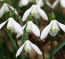 Snowdrops by Rachel Down