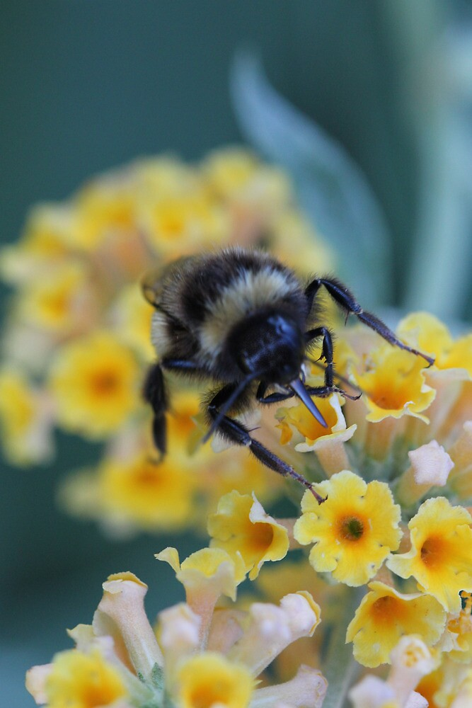 Bumble bee  by Elaine Game