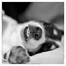 Cute Sleeping Jack Russell Terrier - Black and White by Natalie Kinnear