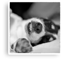 Cute Sleeping Jack Russell Terrier - Black and White Canvas Print