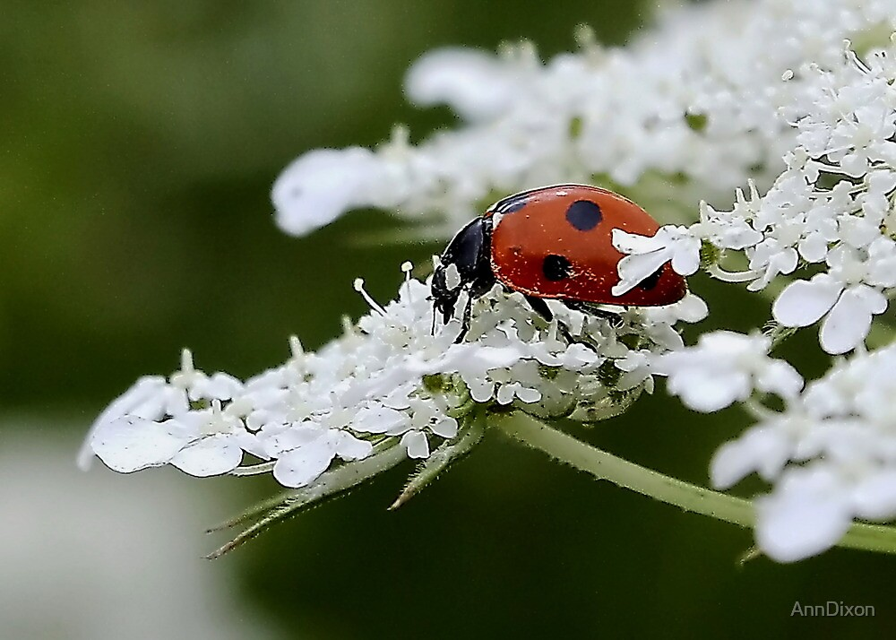 Ladybird on Queen Ann's Lace by AnnDixon