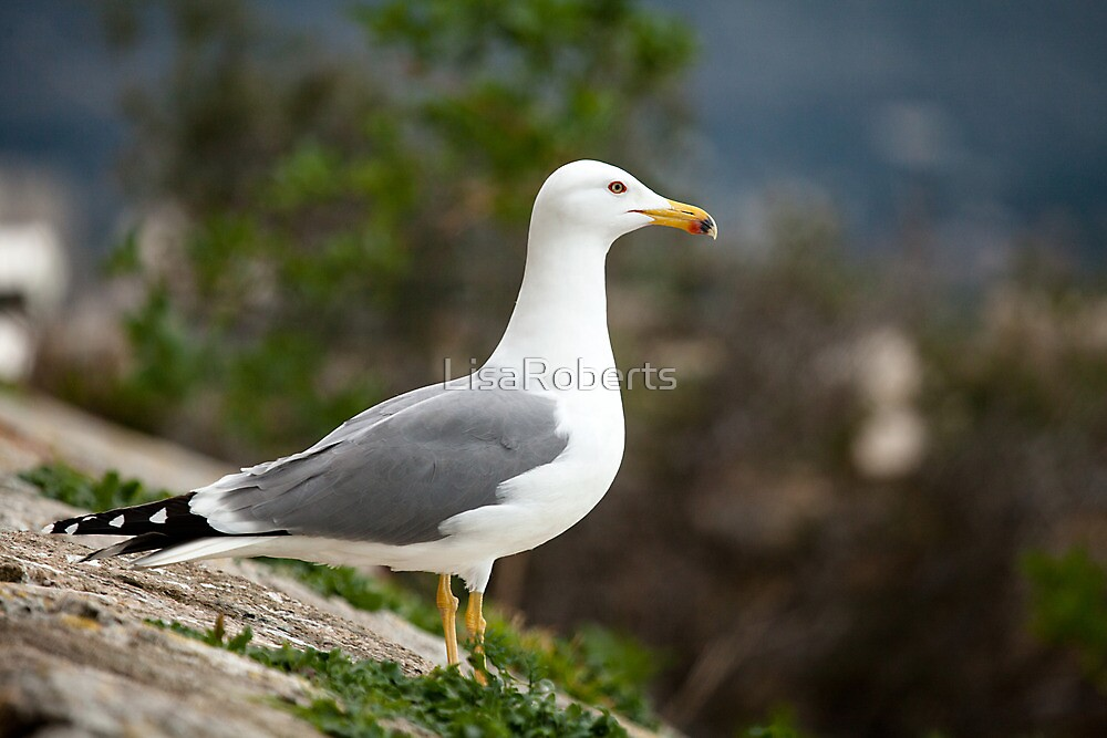 Spanish seagull by LisaRoberts