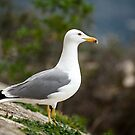 Spanish seagull by LisaRoberts