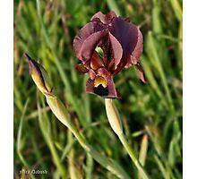 The Iris Photographic Print