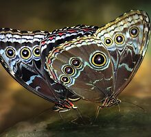 Morphos mating by jimmy hoffman
