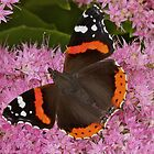 Red Admiral butterfly at rest by Sara Sadler