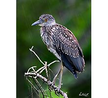 Juvenile in the Rain - Natural Version Photographic Print