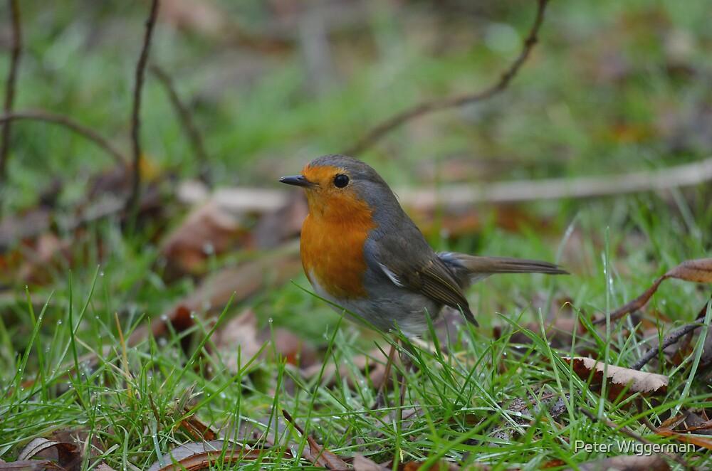 Robin by Peter Wiggerman
