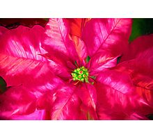Poinsettia Pink And Red Photographic Print