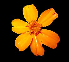 Orange Yellow Flower Print On Black by DreamByDay