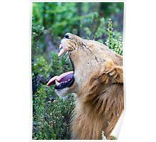 Yawning African Lion Poster