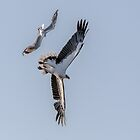 Sea Eagle & Sea Gull  1 by John Van-Den-Broeke