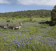 Zebras in a Field of Bluebonnets, Texas Hill Country by RobGreebonPhoto