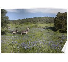 Zebras in a Field of Bluebonnets, Texas Hill Country Poster