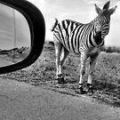 Zebra, next to the road on Johan Rissik Drive, Pretoria by Anita Deppe