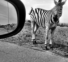 Zebra, next to the road on Johan Rissik Drive, Pretoria by Anita Deppe