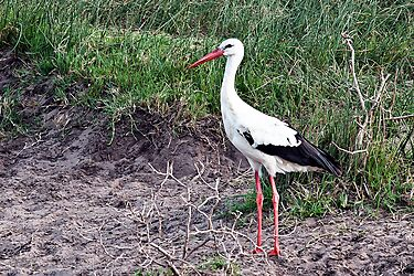White Stork by Warren. A. Williams
