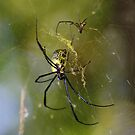 No dear - that web doesn't make you look fat....... by Graeme Mockler