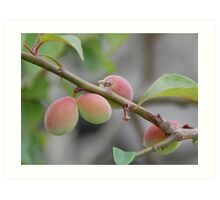 Japanese Plum Tree Art Print