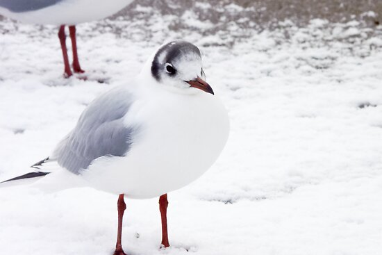 Black-headed Gull in Snow by lmaiphotography