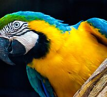 Blue And Gold Macaw. by Nicholas Griffin