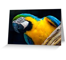 Blue And Gold Macaw. Greeting Card