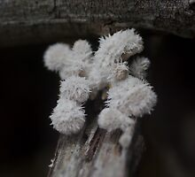 Furry Fungus by Helena Bolle