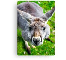 Face Off With A Kangaroo. Canvas Print